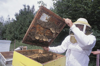 La miel cruda pura es una excelente fuente de prebióticos.